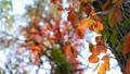 The beautiful varicoloured autumn forest Footage