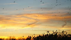 Blackbird Migration Sunset Stock Footage