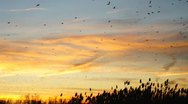 Stock Video Footage of Blackbird Migration Sunset