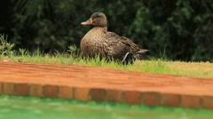 Mother Duck sitting on babies in the rain GFHD Stock Footage