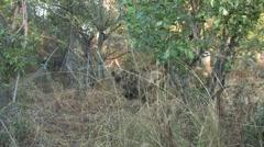 Wild Dogs battle Hyena Stock Footage