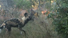 Wild Dog steels back Stock Footage