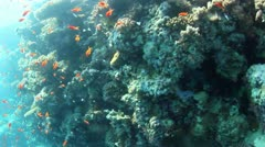 Tropical fish shoal Stock Footage