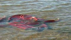 salmon at sea - stock footage