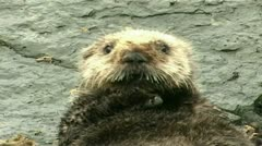 Sea otter resting Stock Footage