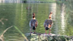 Egyptian gooses Stock Footage