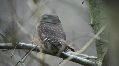 Pygmy Owl Stock Footage