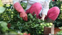 Rose farmer cutting roses and packing for shipping Stock Footage