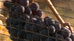Agriculture, vineyard grapes ready to harvest, #9 with bird net, zoom back, Stock Footage