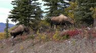 Moose Grazing By Alaska Highway Stock Footage