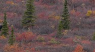 Moose In Denali Stock Footage