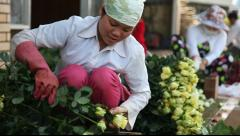 A rose farmer cutting and preparing roses for market Stock Footage