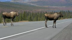 Moose Pair Crossing Road Stock Footage