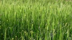 rye field - stock footage