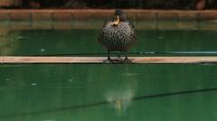 Duck sitting in Rain GFHD Stock Footage