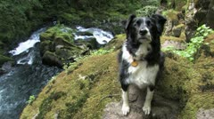 Attentive Border Collie above Waterfall - stock footage