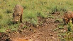 Warthog Mum and Baby near Mud GFHD Stock Footage