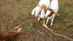 Hand feeding goats on a farm Stock Footage