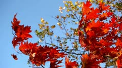 Bright red leaves in the autumn against the blue sky Stock Footage