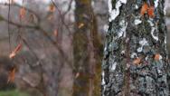Birch in autumn. Stock Footage