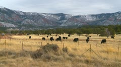 agriculture, cattle free range in Utah, late fall - stock footage