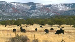 Agriculture, cattle free range in Utah, late fall, medium shot Stock Footage