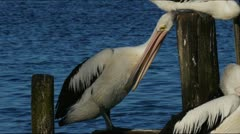 Pelican Stock Footage