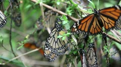 Mariposas in the bush - stock footage