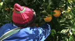 Picking lemons, South Africa Stock Footage