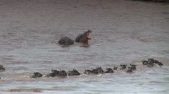 Hippo opens mouth as Gnus cross river Stock Footage