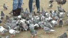 Pigeons feeding en masse at the feet of people Stock Footage