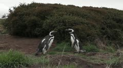 Penguin fight Stock Footage