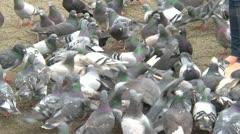 Pigeons feeding en masse Stock Footage