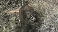 Stock Video Footage of Coati Close-Up