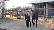 Stock Video Footage of Baby donkey on the farm
