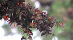 Thousands of Mariposas in the Forest - stock footage