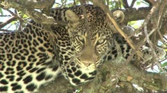 Zoom out of a leopard in a tree Stock Footage