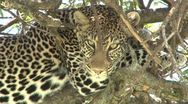 Stock Video Footage of zoom out of a leopard in a tree