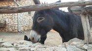 Donkeys close up Stock Footage