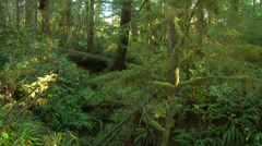 West coast rainforest, lush and green, ferns and undergrowth slow tilt down Stock Footage