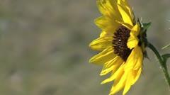 Sunflower in breeze Stock Footage
