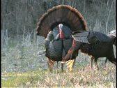 Turkey strut Stock Footage