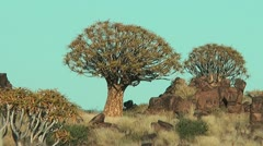 Namibia - quiver tree Stock Footage
