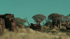 Namibia - quiver tree - stock footage