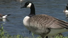 Nuisance Canada Geese in City Park - stock footage