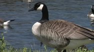 Nuisance Canada Geese in City Park Stock Footage