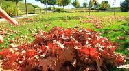 Kids run into Fall leaves2-MVI 6420 Stock Footage