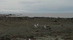 Penguins walking Stock Footage