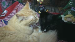 Christmas Cats In Love Stock Footage