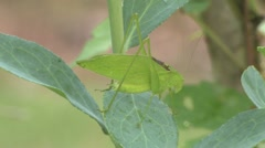 Katydid Stock Footage